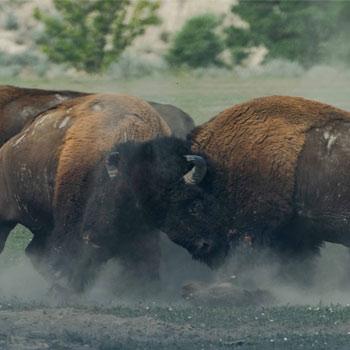 Battling bison